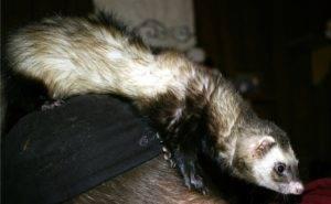 Как поймать хорька в курятнике: ловушки, капканы