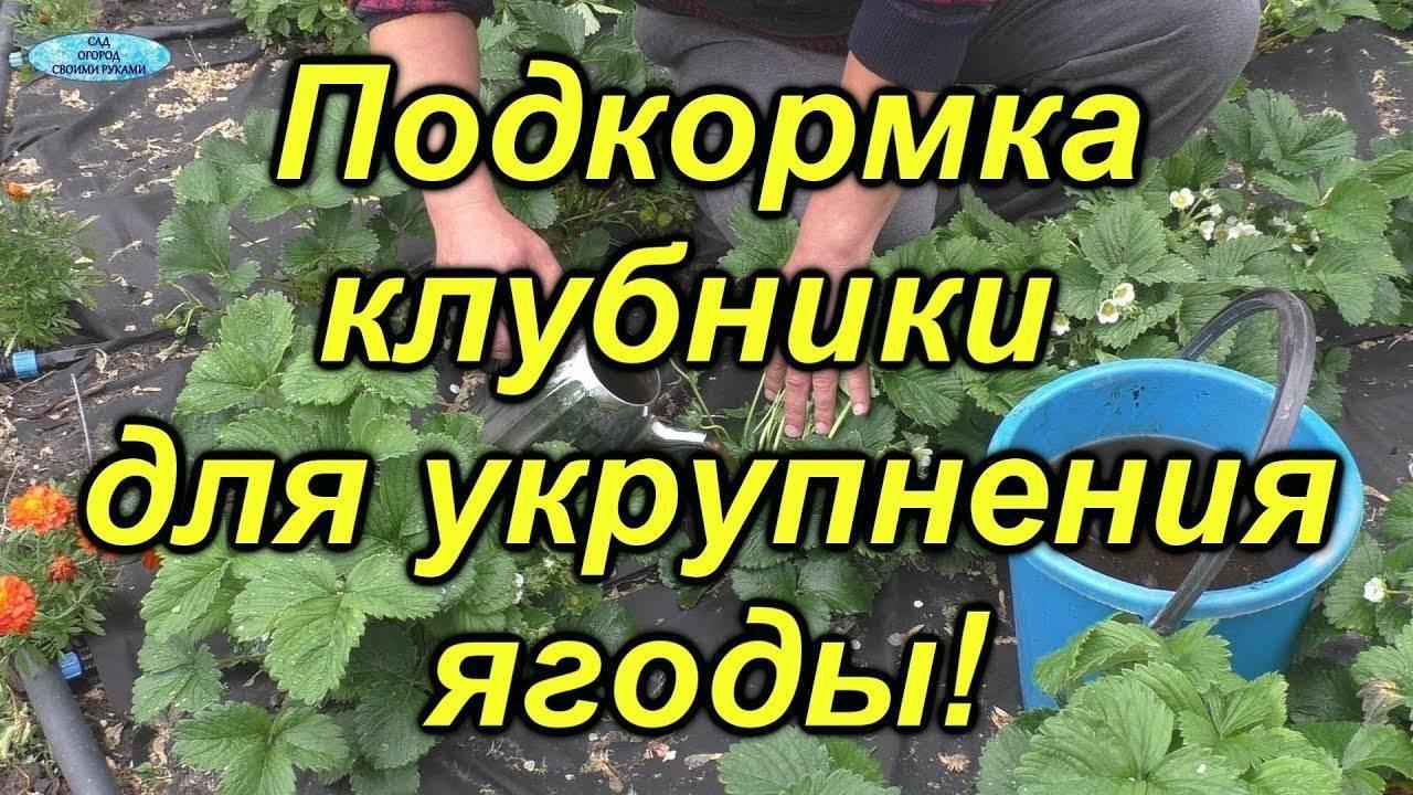 Чем подкормить клубнику: полезные советы | спутниковые технологии