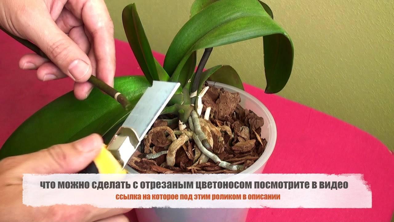 Как обрезать орхидею: оптимальные сроки, правила и последующий уход + варианты обрезки для разных состояний цветоноса