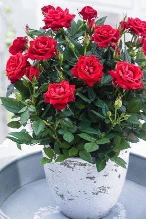 Уход в домашних условиях за розой в горшке после покупки: как ухаживать за комнатными растением и что делать, если оно засыхает, как спасти цветок? selo.guru — интернет портал о сельском хозяйстве