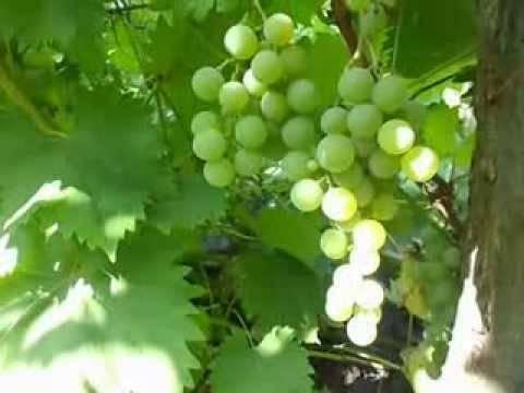 Виноград дружба: универсален и неприхотлив - сорта винограда, универсальные | описание, советы, отзывы, фото и видео
