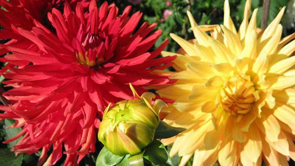 Кактусовые георгины: выращивание из семян, посадка и уход (фото)