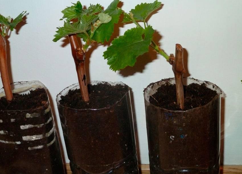 Как вырастить виноград из черенков в домашних условиях: +видео