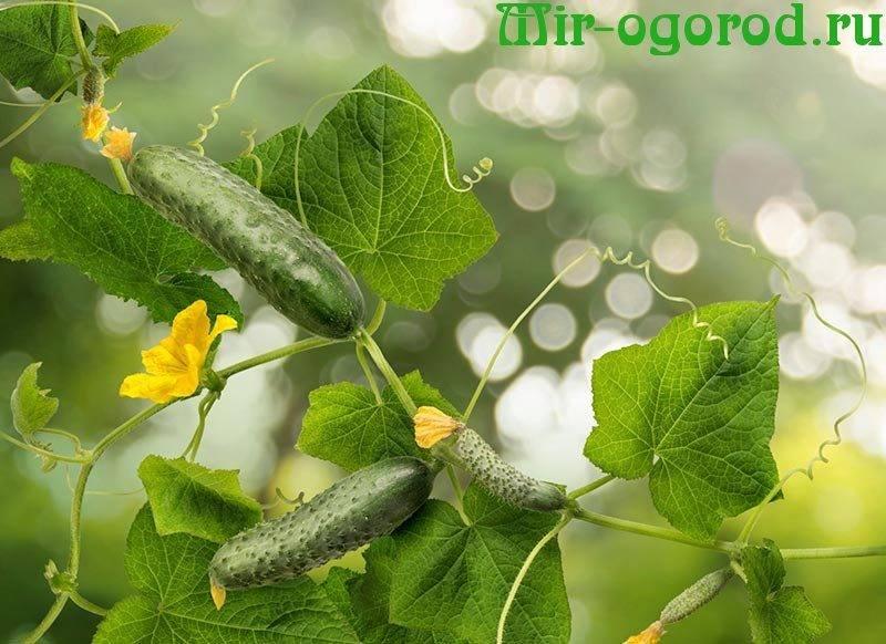 Чем подкормить огурцы, чтобы хорошо росли и наливались