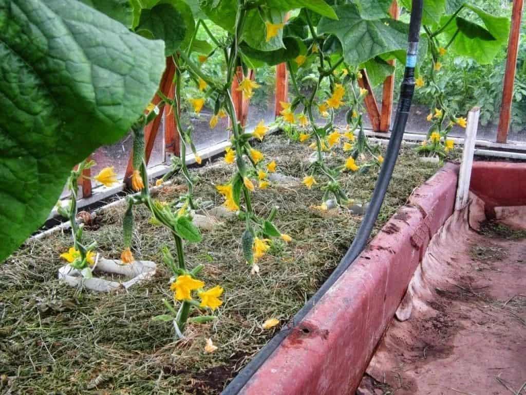 Выращивание огурцов в теплице, уход и подкормки