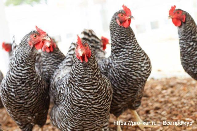Почему цыплята клюют друг друга до крови: причины и что делать