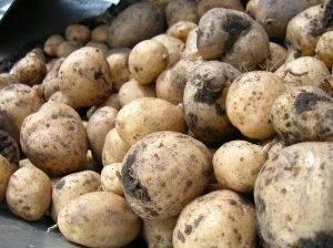 Картофельный рак: симптомы, причины, лечение, фото