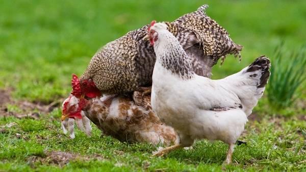 Почему куры клюют друг друга до крови — причины расклева и что делать?