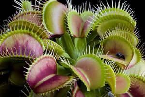 Венерина мухоловка уход в домашних условиях венерина мухоловка из семян чем кормить дионею