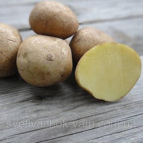 ᐉ сорт картофеля венета (винета) – описание и фото - roza-zanoza.ru