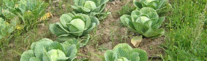 Капуста ринда f1: растим мощный урожайный гибрид на своём огороде