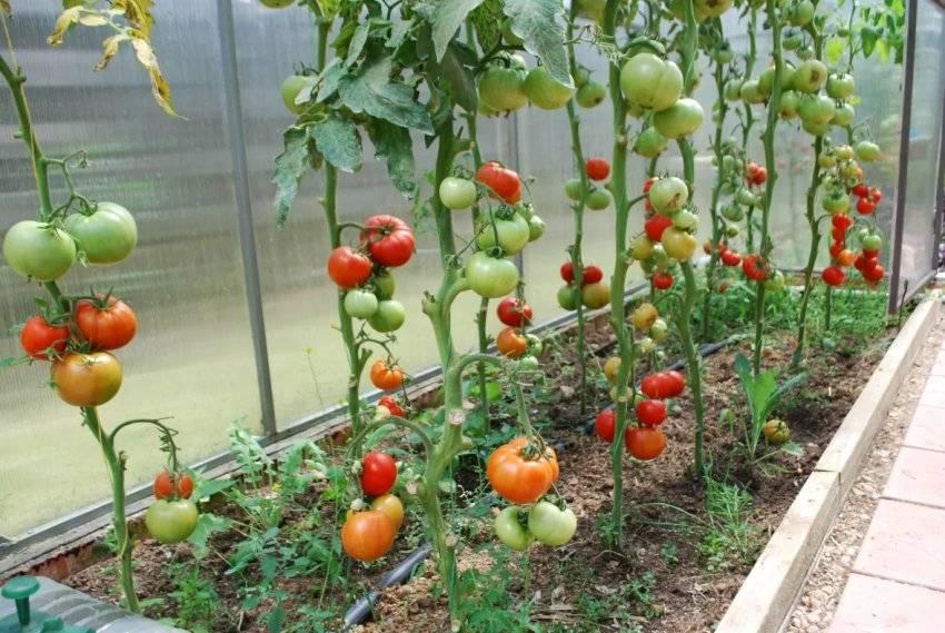 Как подвязывать помидоры - в теплице из поликарбоната, в открытом грунте, просто и удобно, способы