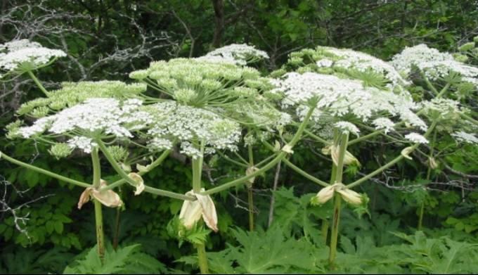 Борщевик сосновского – ядовитое растение. как бороться с борщевиком?