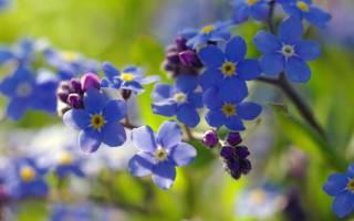 Мир растений. незабудка