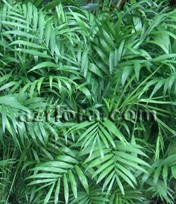 Хамедорея: виды, выращивание и уход