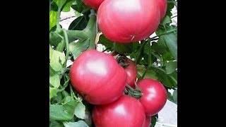 Томат пинк парадайз: отзывы, фото, урожайность, описание и характеристика | tomatland.ru