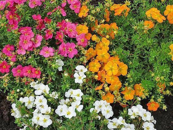Лапчатка кустарниковая сорта и виды: фото, описание, советы