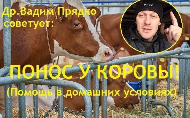 Понос у коровы: что делать, чем лечить?