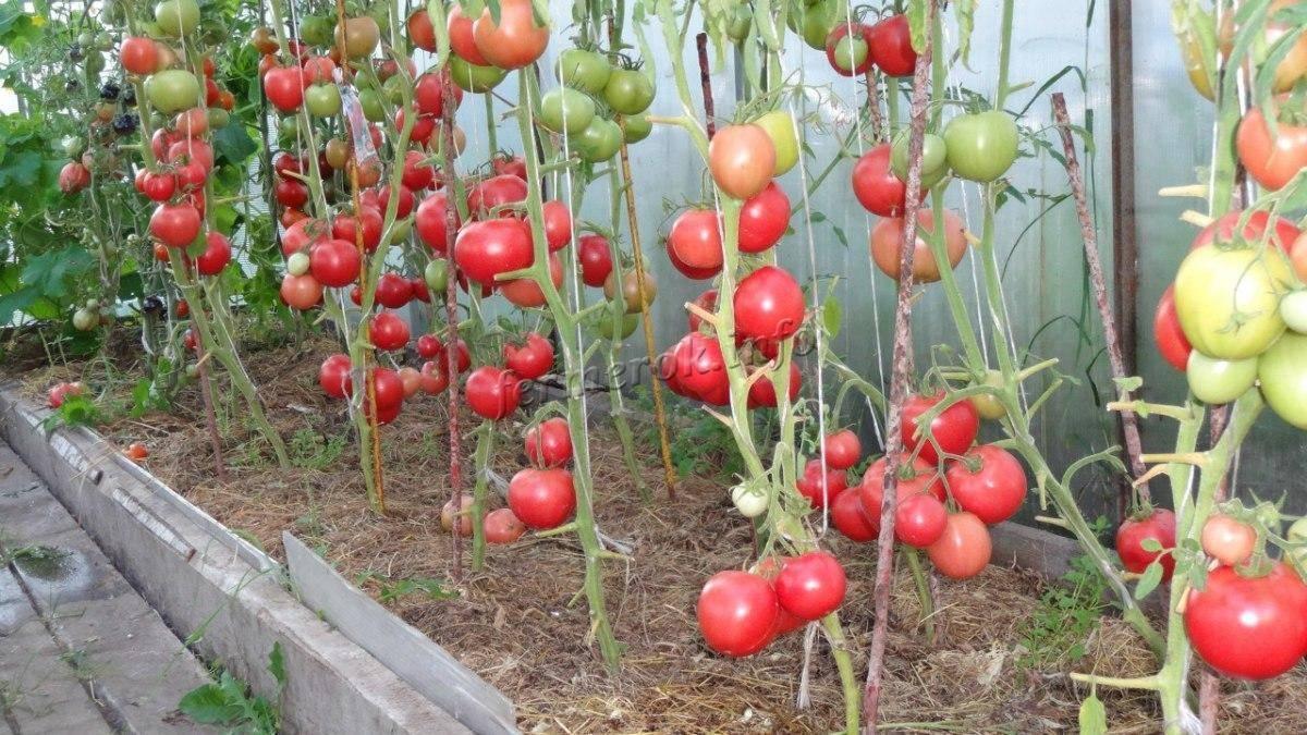 Томат малиновка яблочная отзывы фото урожайность | мой сад и огород