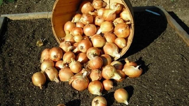 Лук: посадка и уход, выращивание из семян в открытом грунте, фото