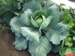 Капуста теща: советы по выращиванию одного из самых популярных сортов