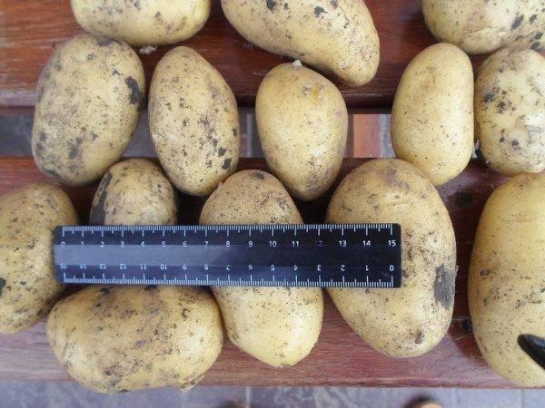 Гибридный сорт картофеля коломбо – описание, фото и подробная характеристика вида. советы по выращиванию