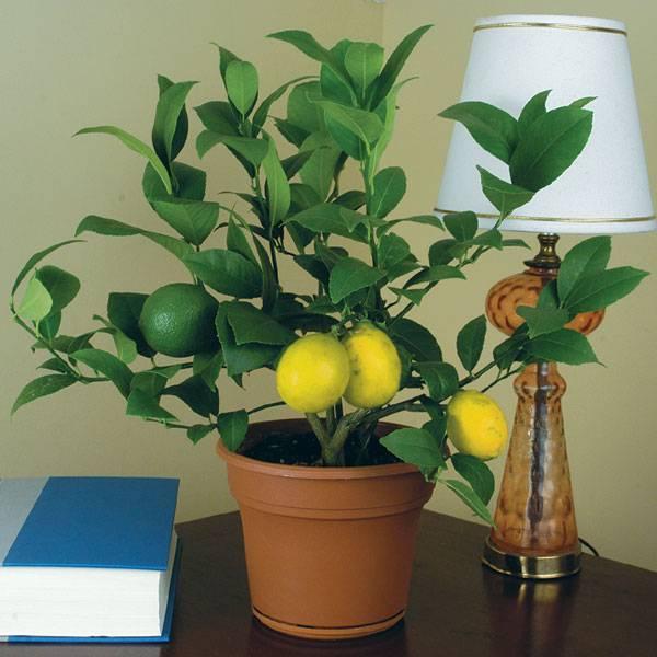 Лимон мейера: фото, условия выращивания, правила ухода | огородники