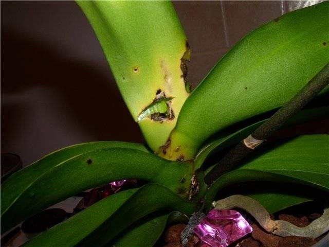 У орхидеи опадают бутоны: что делать, почему желтеют цветки, причины