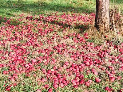 Почему яблоня цветет, но не плодоносит?