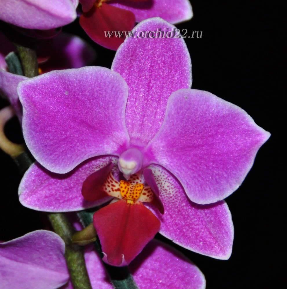 Описание орхидеи фаленопсис Мукалла