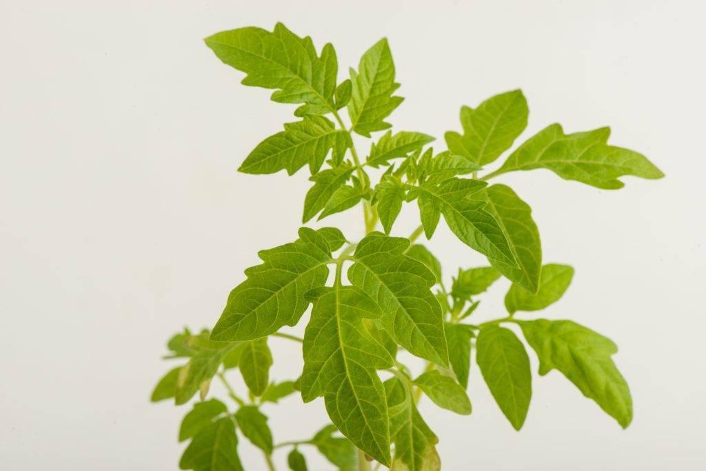 Выращивание рассады помидоров по методу Юлии Миняевой