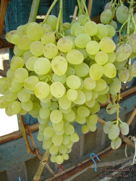 Виноград «русбол»: описание сорта, фото и отзывы. основные плюсы и минусы, сравнение с аналогами, характеристики и особенности выращивания в регионах