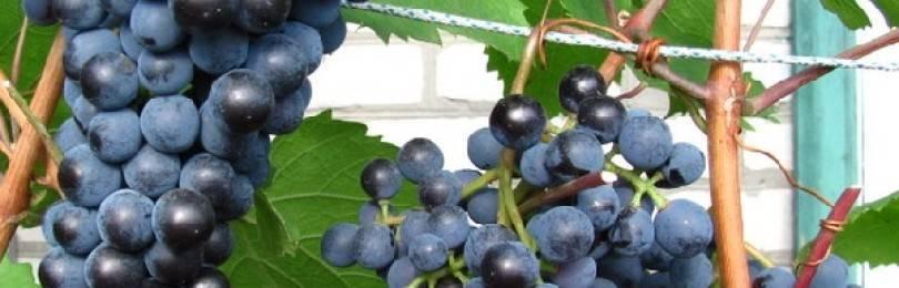 Сорт винограда северный белый