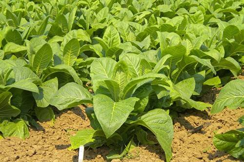 Выращивание курительного табака и махорки на участке