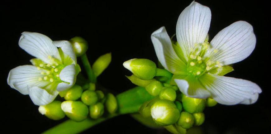 Венерина мухоловка: выращиваем растение-хищник самостоятельно