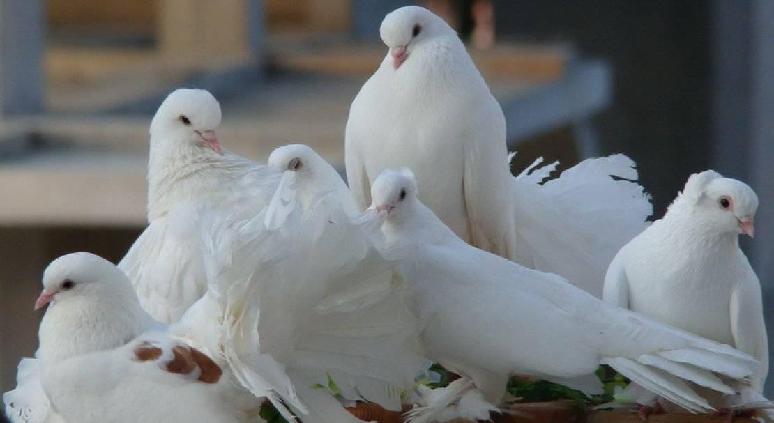 Голуби гривуны: фото, описание породы, характеристика — selok.info