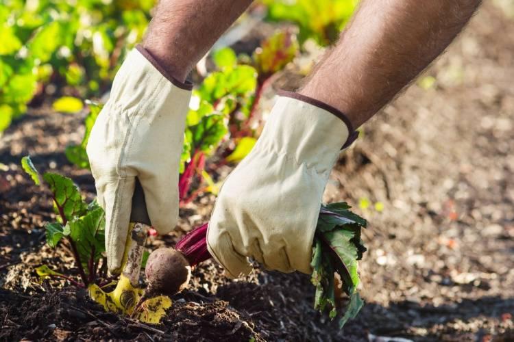 Не торопитесь прореживать свеклу: советы по ее выращиванию