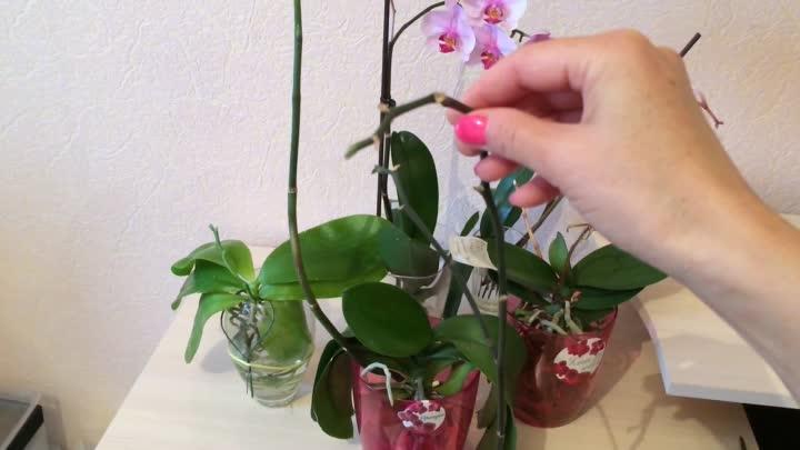 Подробная инструкция, как обрезать орхидею после цветения