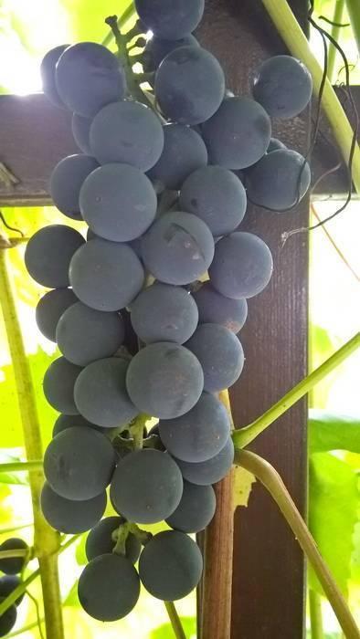 Описание сора винограда «альфа» с фото и видео