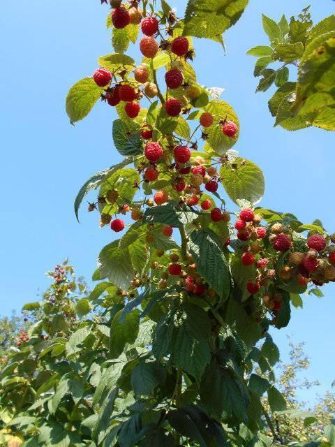 О малине херитейдж: описание сорта, особенности ухода