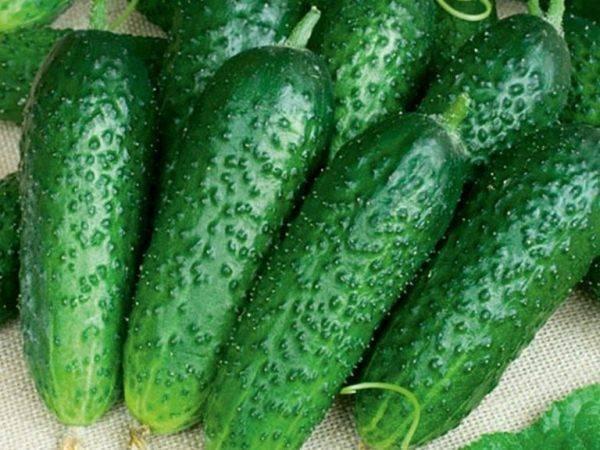 Огурцы теща f1: описание гибрида, фото, отзывы тех, кто выращивал, советы по уходу для получения богатого урожая