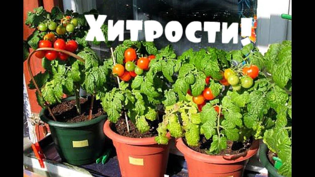 Выращивание помидоров черри: как вырастить томаты прямо на подоконнике