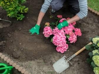 Гортензия шершавая макрофилла: особенности выращивания