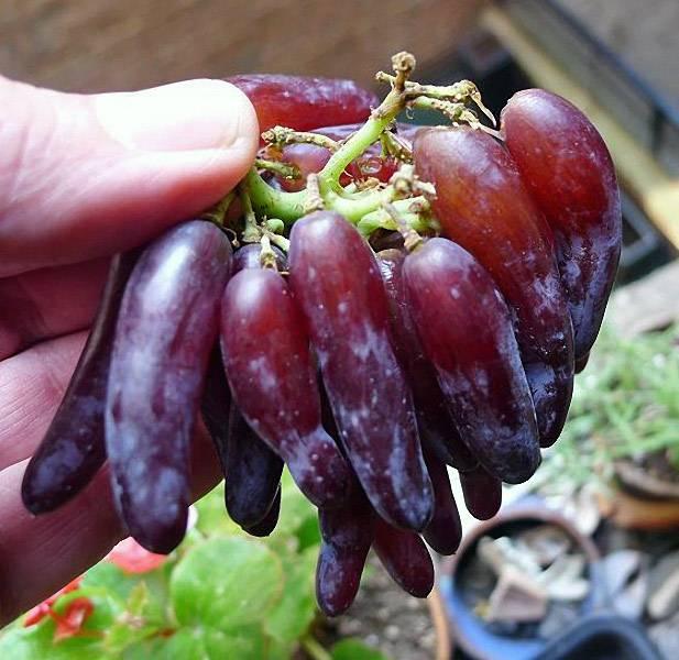 Виноград америка: разнообразие сортов