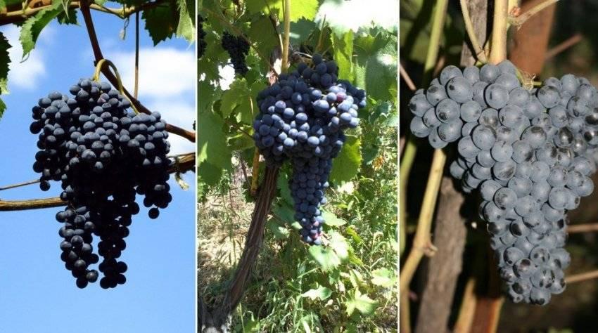 """Виноград """"красень"""": описание сорта, фото, отзывы"""