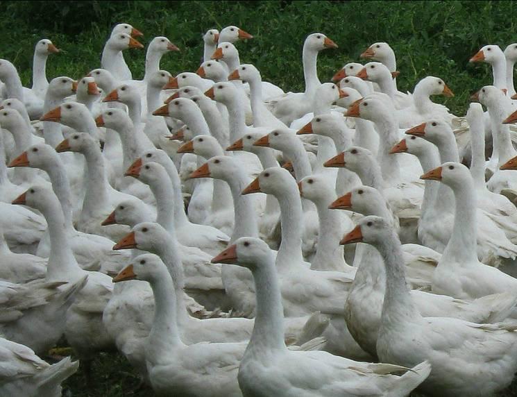 Разведение гусей как бизнес — выгодно или нет создавать гусиную ферму