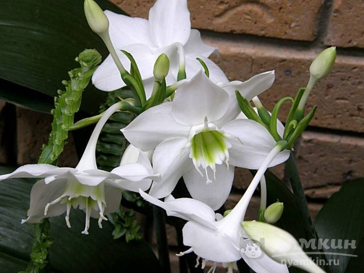 Лилия в горшке: правильный уход, выращивание, пересадка