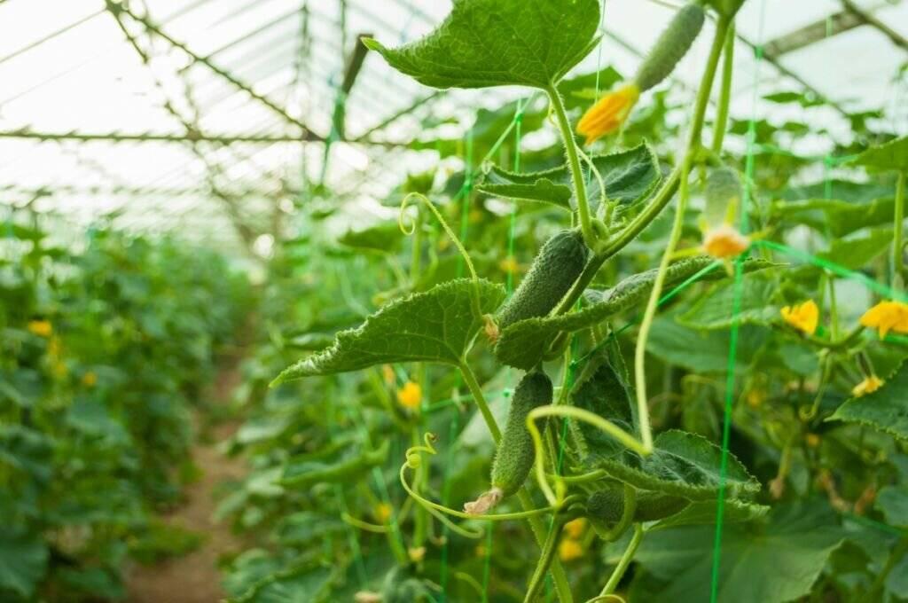 Как правильно поливать огурцы в теплице и открытом грунте для хорошего урожая