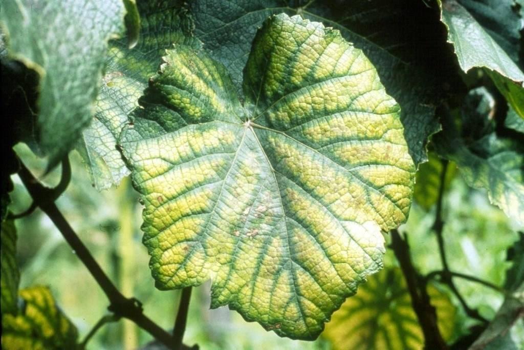Почему вянут листья на огурцах, чем помочь - дачные советы.ру