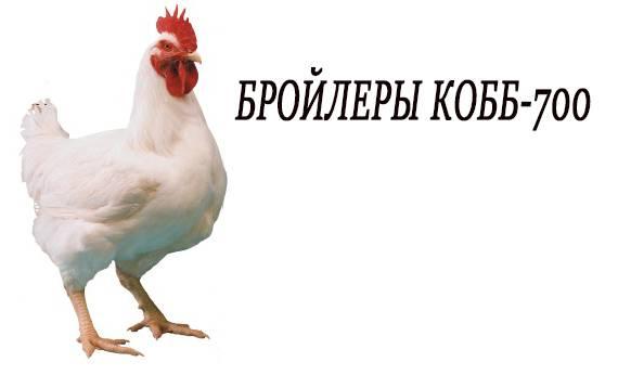 Как растут цыплята кобб 500?